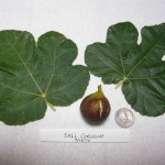 Size of Corleone Fig and Leaf