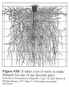 Section through rhubarb roots.