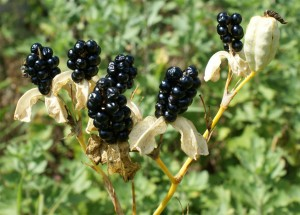 Blackberry seed heads