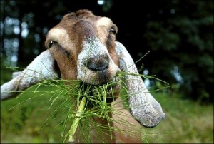 Closeup of goat eating grass